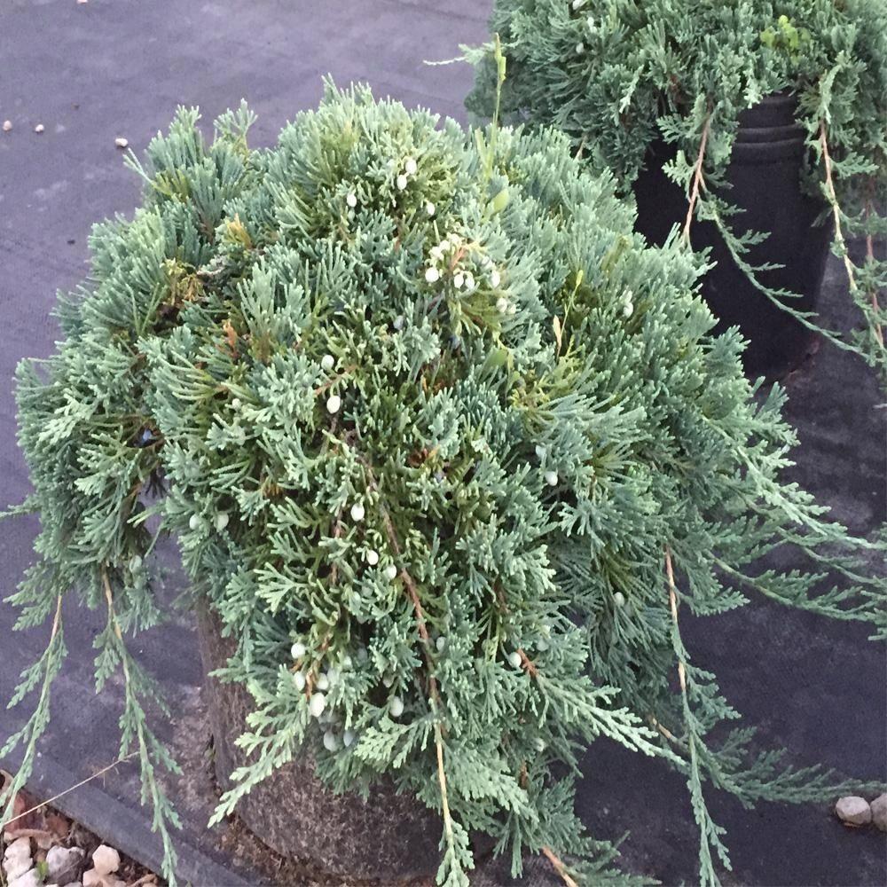 Onlineplantcenter 3 gal blue rug juniper shrub 1000 in