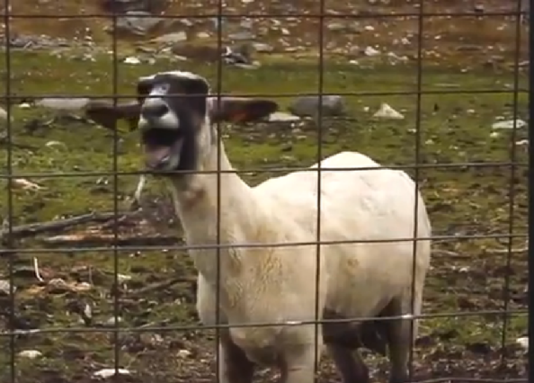 Ailamalia #Funny Goats: Screaming Is Optional (March 2017 ...  Mom Screaming Goats Funny