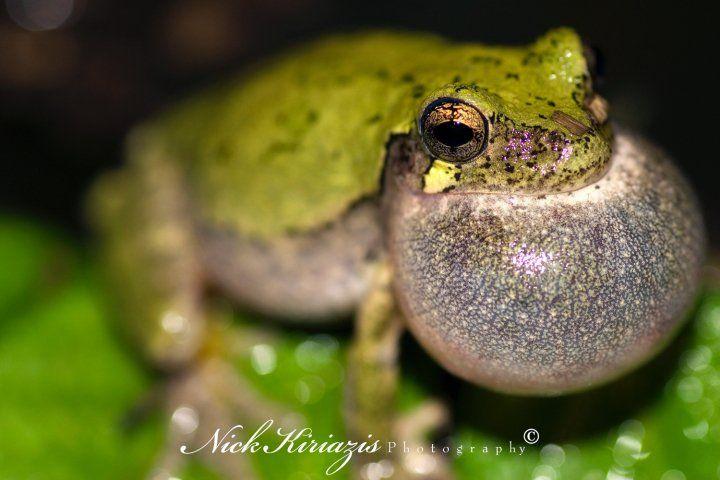 Grey Treefrog calling by Nick Kiriazis http://www.nickkiriazisphotography.com/index2.php