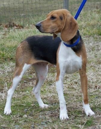 Rhodesian Ridgeback Beagle Mix This Hound Beagle Mix For Beagle