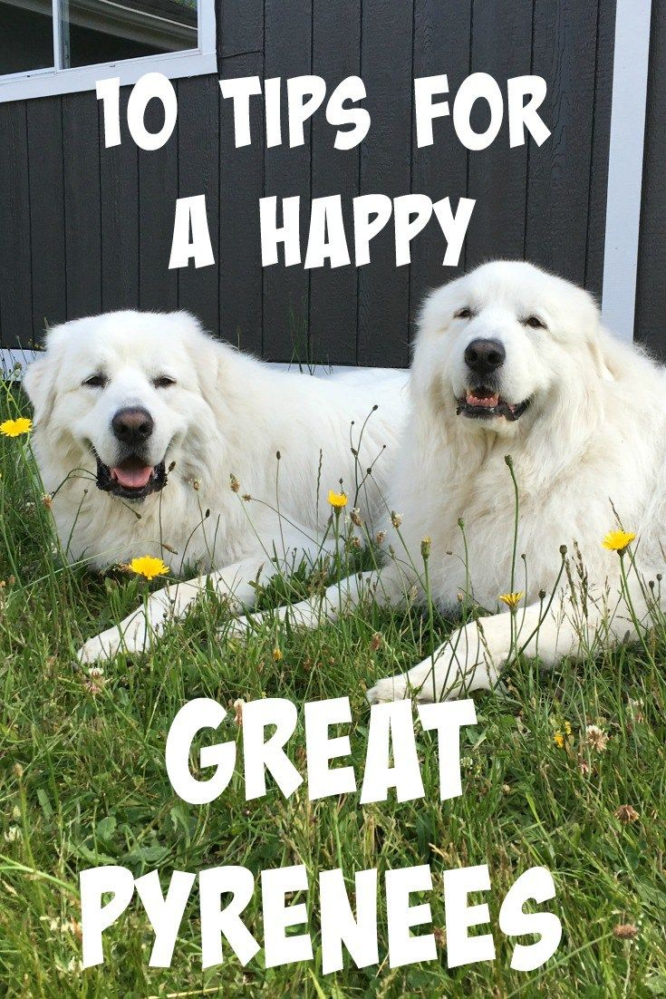 10 Tips for a Happy Great Pyrenees Great pyrenees, Great