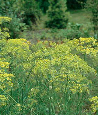 Dill, Mammoth.Seeds flavor pickles; leaves enhance salads, soups, omelets and vegetables.