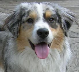South Texas Aussie Rescue Is An Adoptable Australian Shepherd Dog In Houston Tx Attention This Dog Has Alr Australian Shepherd Australian Shepherd Dogs Dogs
