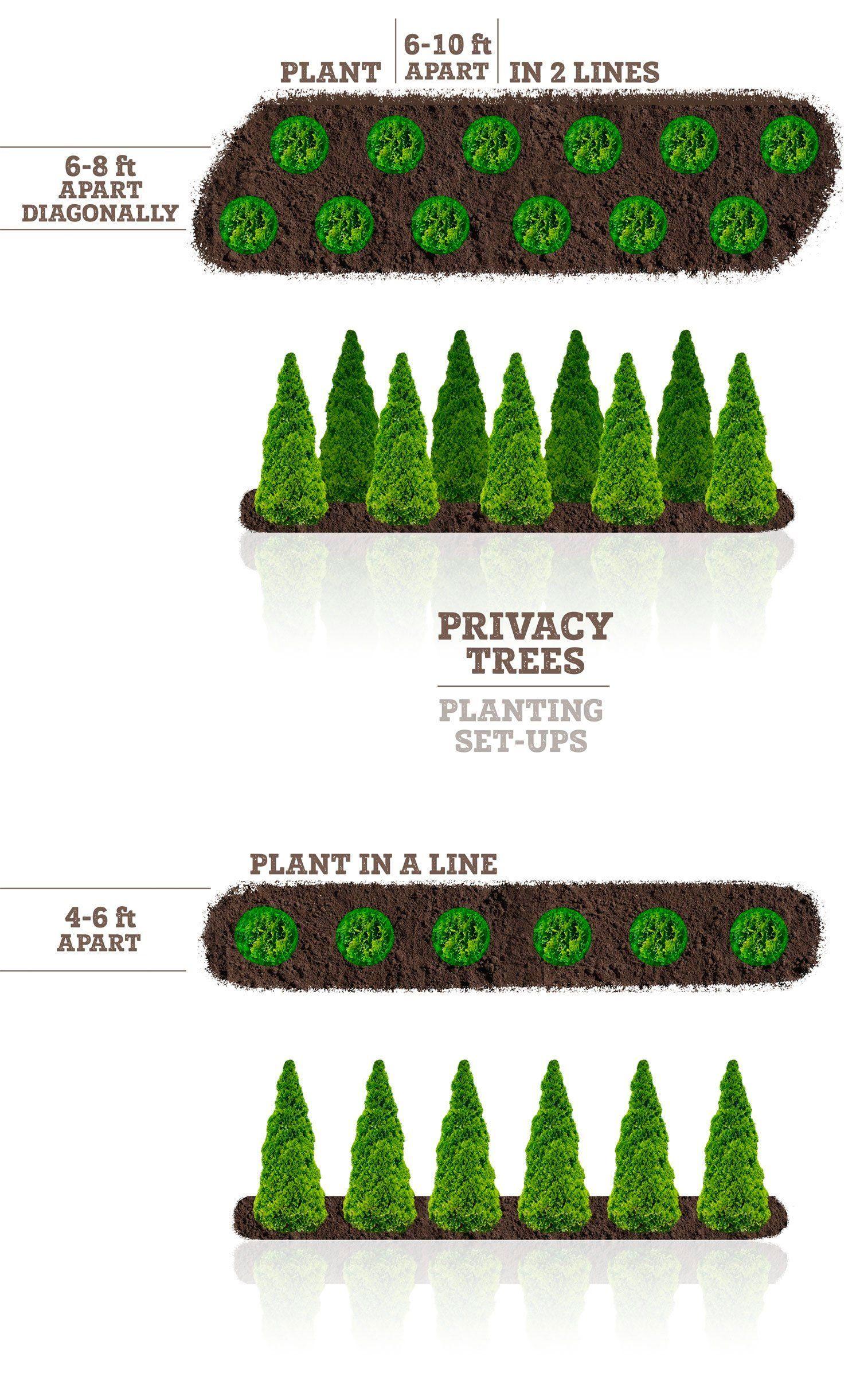 Thuja Green Giant Privacy Screen