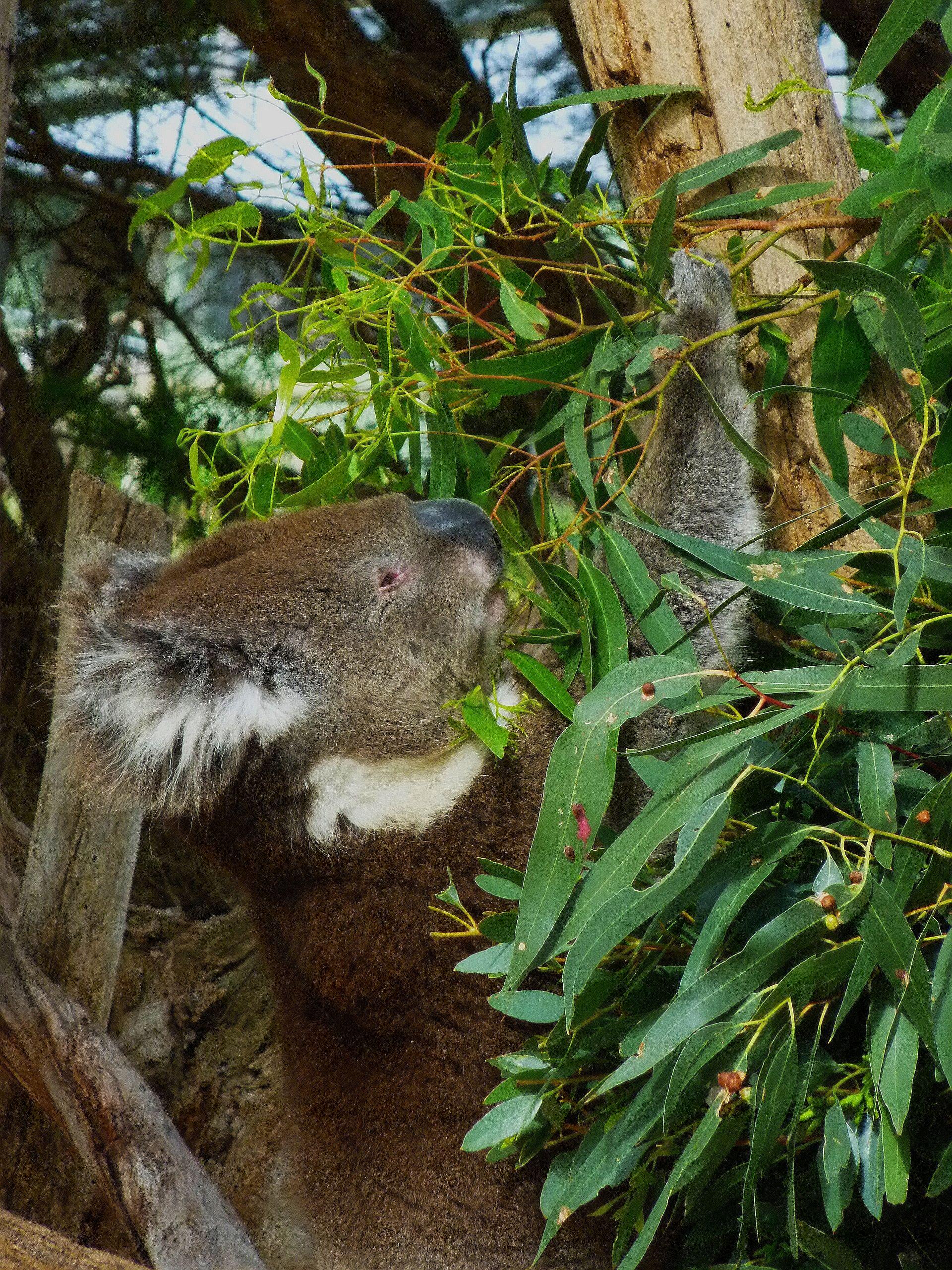 Eating Koala Urimbirra Wildlife Park Adelaide Australia