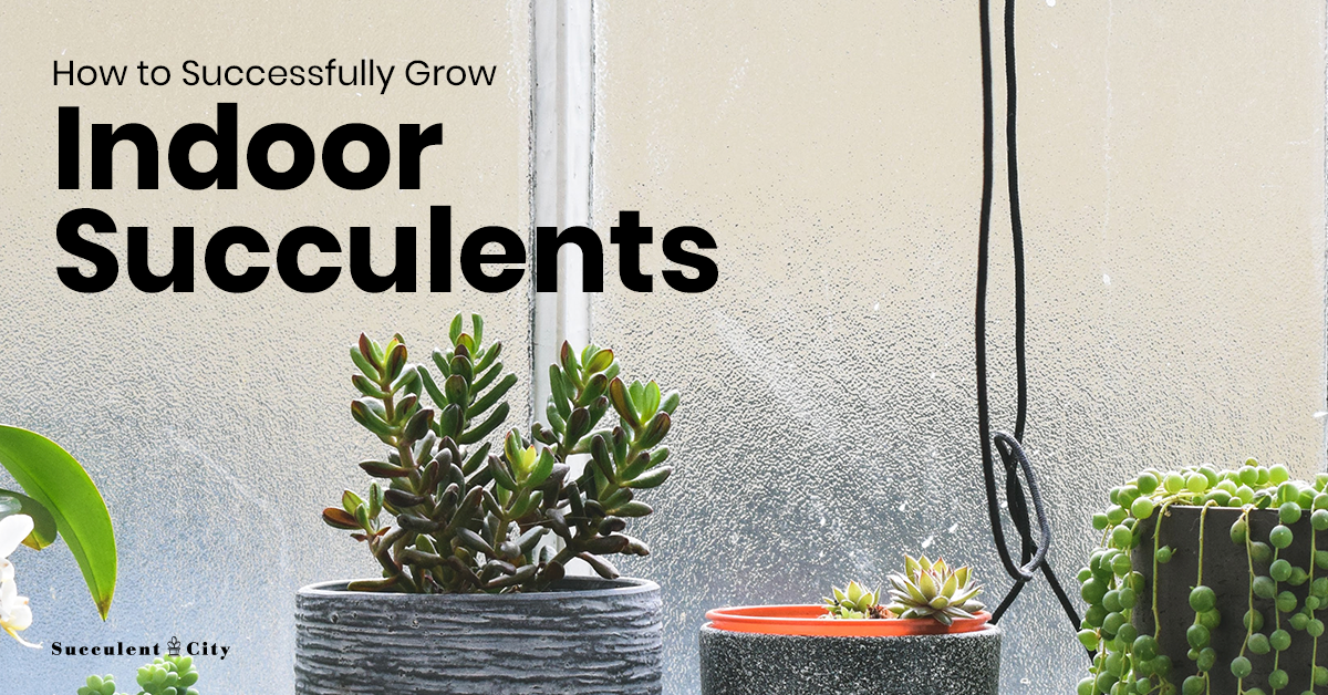 How to Successfully Grow Indoor Succulents Succulents