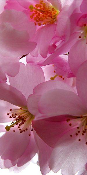 Pink Flowering Cherry Blossom Tree Blossom Trees Cherry Blossom Tree Beautiful Flowers