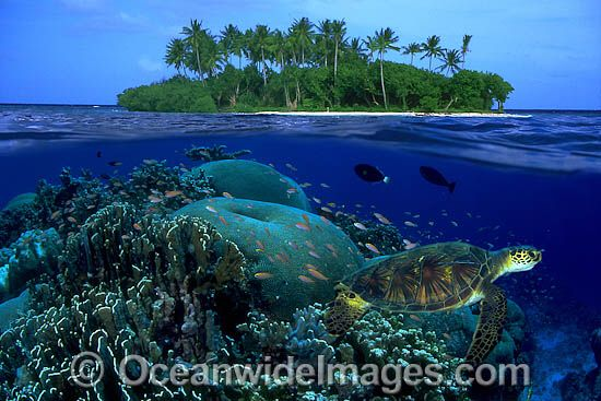 Image from http://www.oceanwideimages.com/images/16008/large/green-sea-turtle-70M2265-07.jpg.