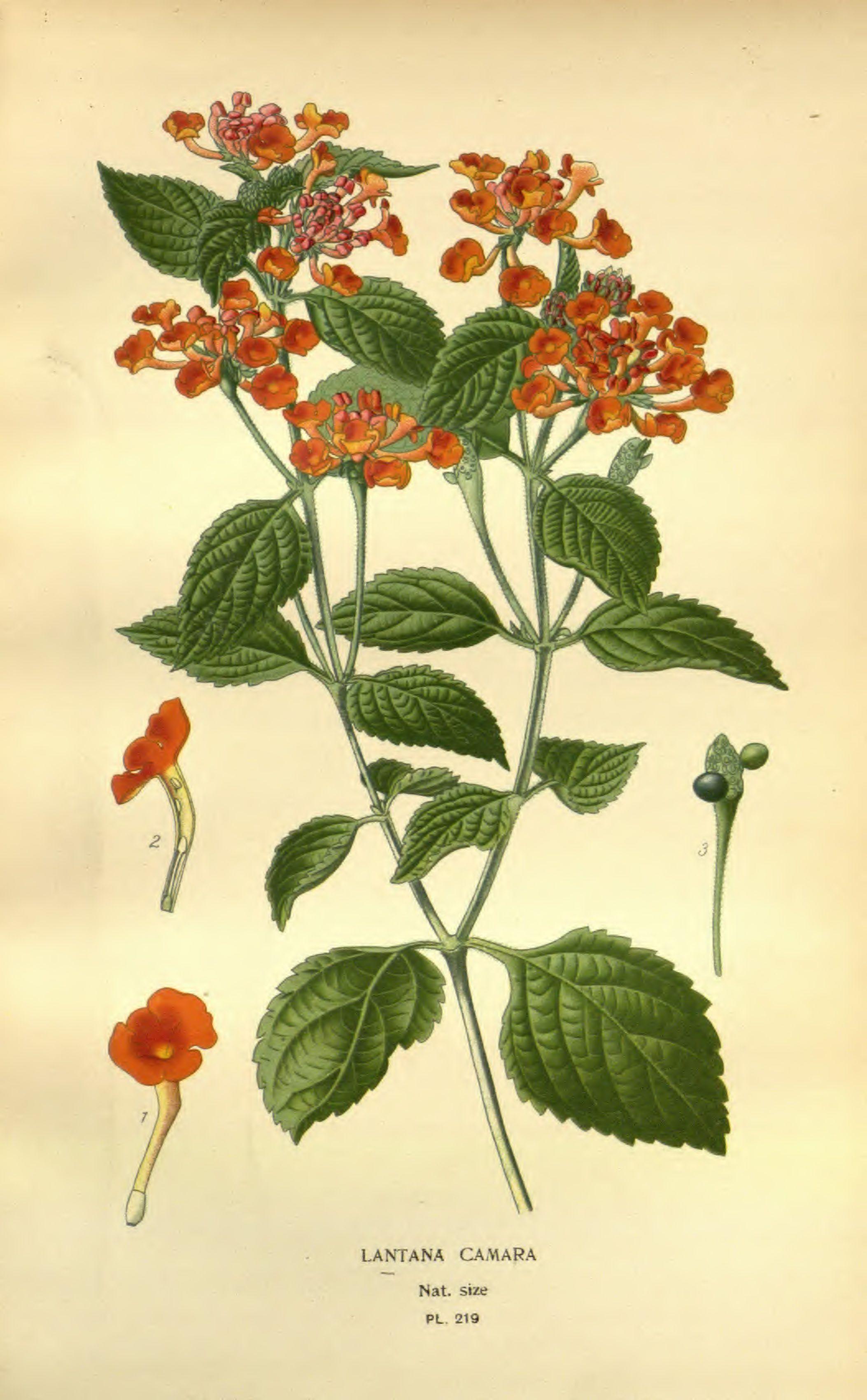Lantana Camara Illustration Favourite Flowers Of Garden And Greenhouse V03 Edward Step 1896 Lantana Lantana Camara Lantana Flower