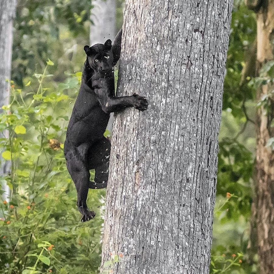 Photo by mainak.ray A black leopard climbs down a tree