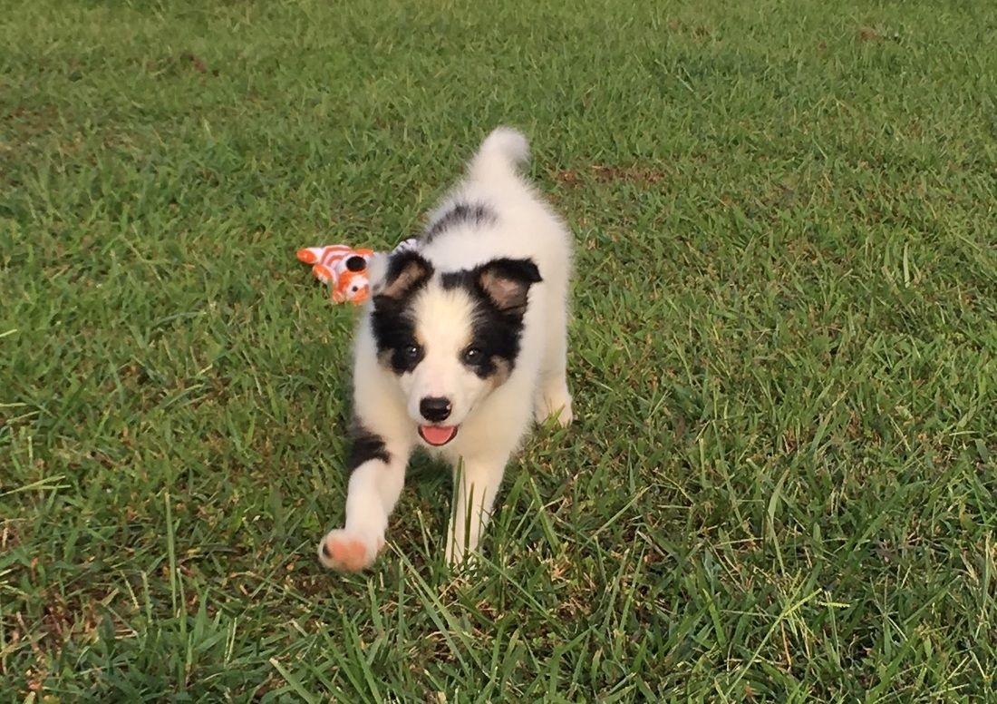 Tri Colored Border Collie Puppy In The Green Grass With A Little