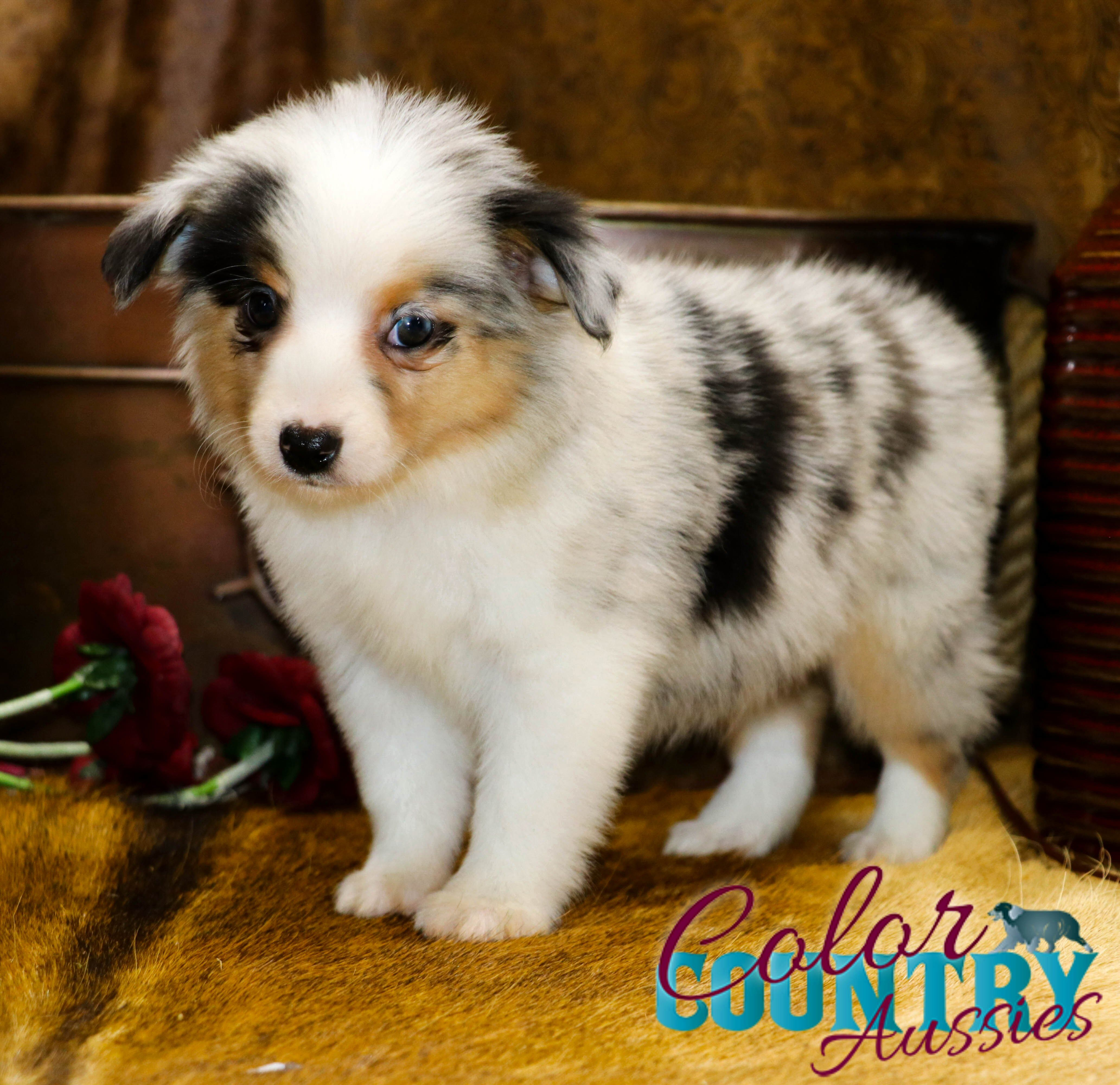 Change Blue Merle Female Australian Shepherd Working Dogs Dog