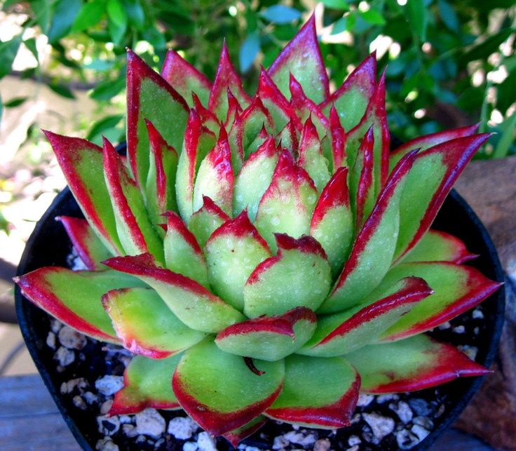 Echeveria agavoides lipstick hens and chicks succulent