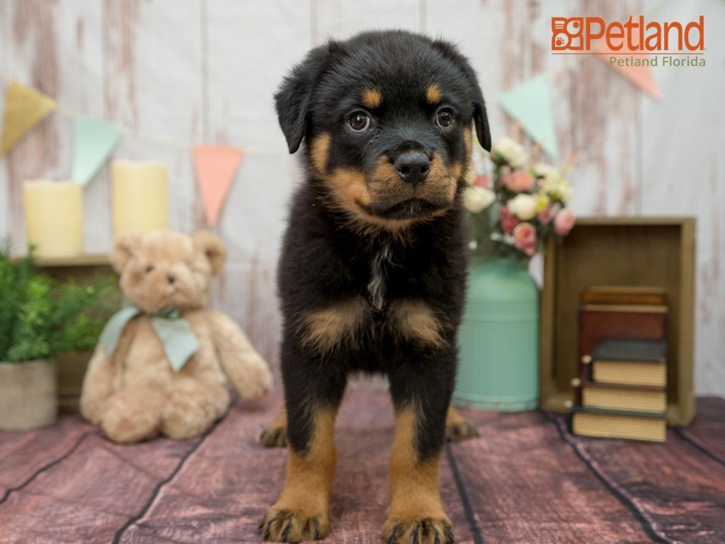 Puppies For Sale Rottweiler Puppies For Sale Puppies