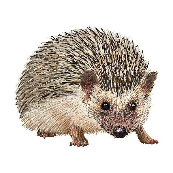 Image result for clipart hedgehog