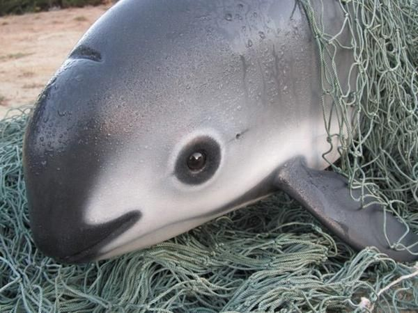 The vaquita (Phocoena sinus) is a rare species of porpoise. It is ...