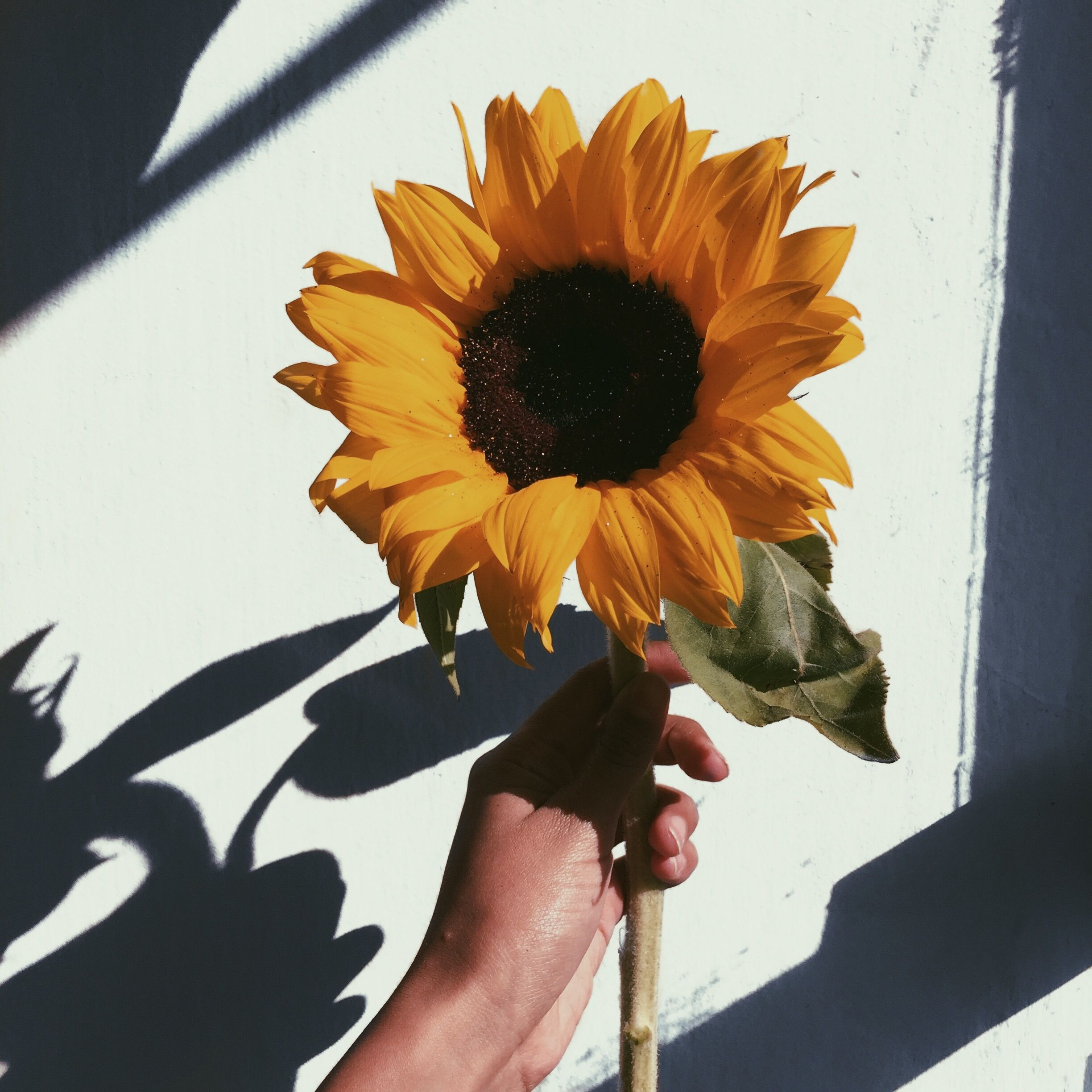 Pin By Cacielle Medeiros On Flores In 2019 Sunflower Wallpaper