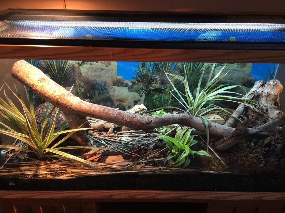 The Proper Way to Set Up a Bearded Dragon Enclosure & The Proper Way to Set Up a Bearded Dragon Enclosure | Bearded ... azcodes.com