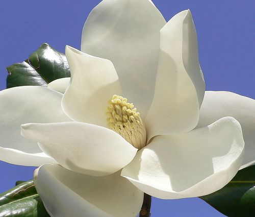 Magnolia Trees But No Smell But Now A Gardenia Now That S A Smell You Never Forget Ever Magnolia Flower Flower Pictures Magnolia