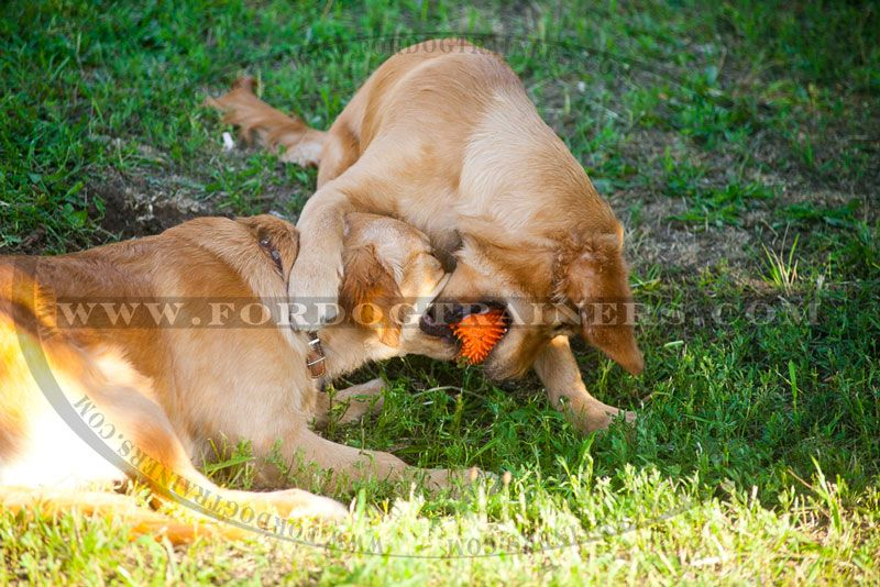 Full of energy #Golden #Retrievers playing with rubber ball