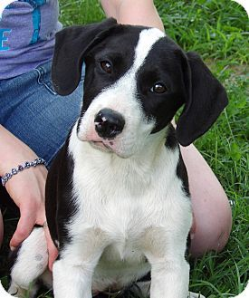 West Sand Lake Ny Great Dane Border Collie Mix Meet Talulah