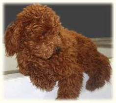 Mini Cavapoo Full Grown Google Search Cavapoochon Cavachon
