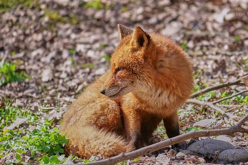 Discover and download free images Pixabay Fox, Animals