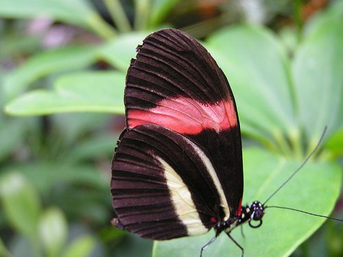 Heliconius Melpomene Postman Butterfly Red Passion Flower Butterfly Pajaros Mariposas