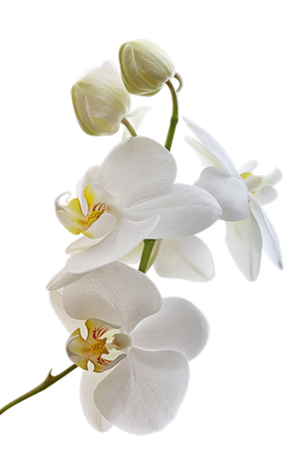 Orchidee 15 Losse Orchidee Galerij Orchid Flower Orchids White Orchids