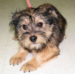 Manny Is An Adoptable Cairn Terrier Dog In Cleveland Oh This Pet