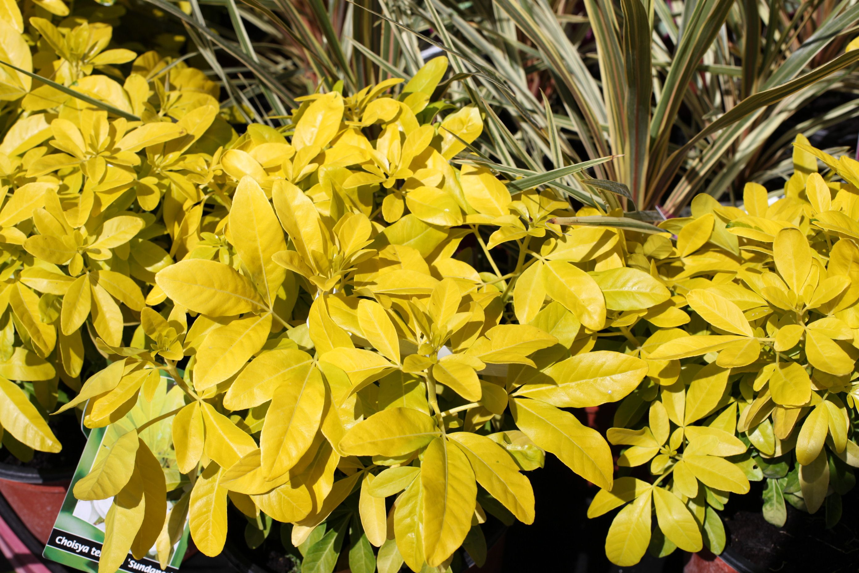 Yellow And Green Evergreen Shrubs Topsimages