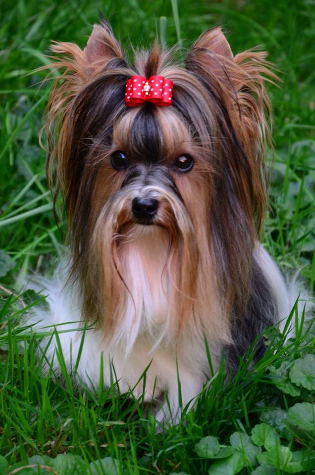 Top Terrier Bow Adorable Dog - 01c15bad458035b333c6604864f4b813  Picture_19646  .jpg
