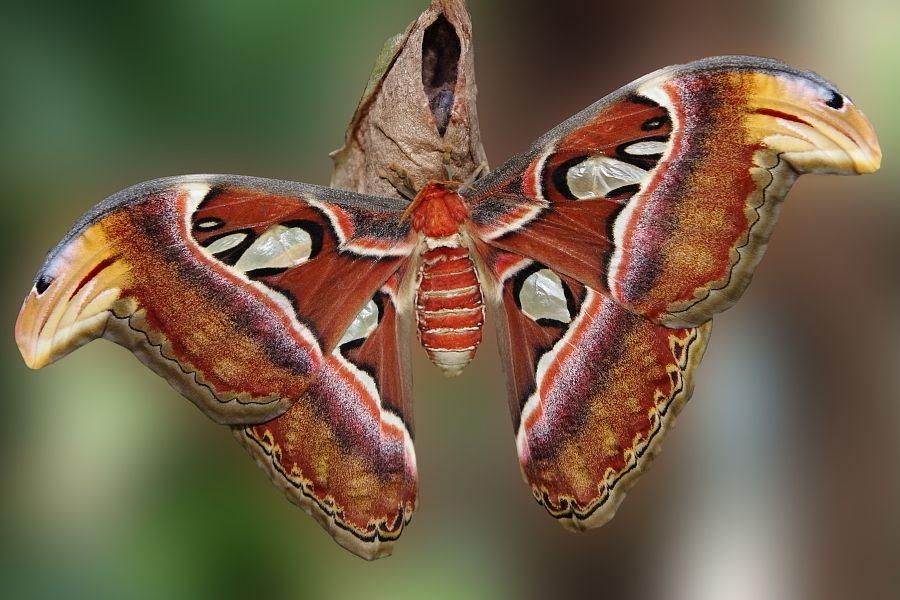 Papallona. Mariposa. Attacatus Atlas
