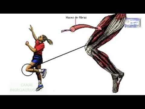 Contraccion Muscular Fisiologia Ebook