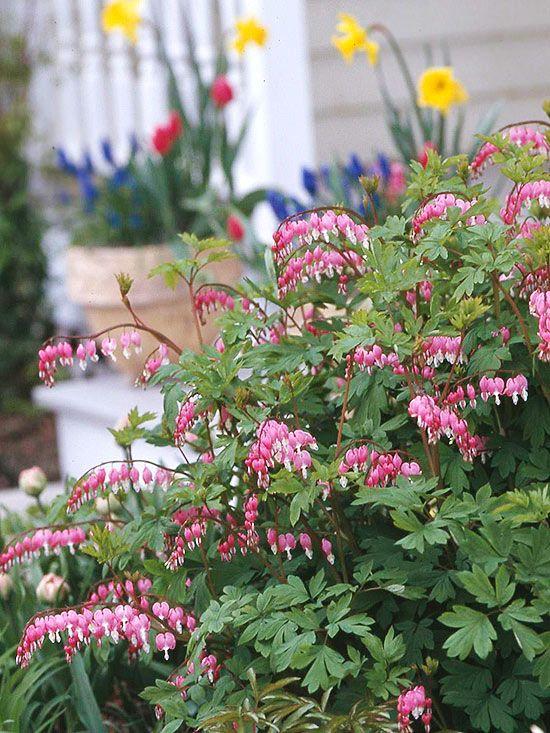 Bleeding heart Shade perennials, Flowers perennials