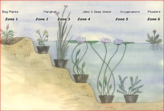 Ideal Planting Zones | Water garden | Pond plants, Water features in the  garden, Goldfish pond