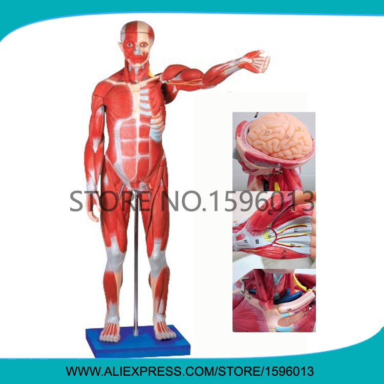 Advanced 170cm Full Body And Muscles Model Muscle Anatomical Model