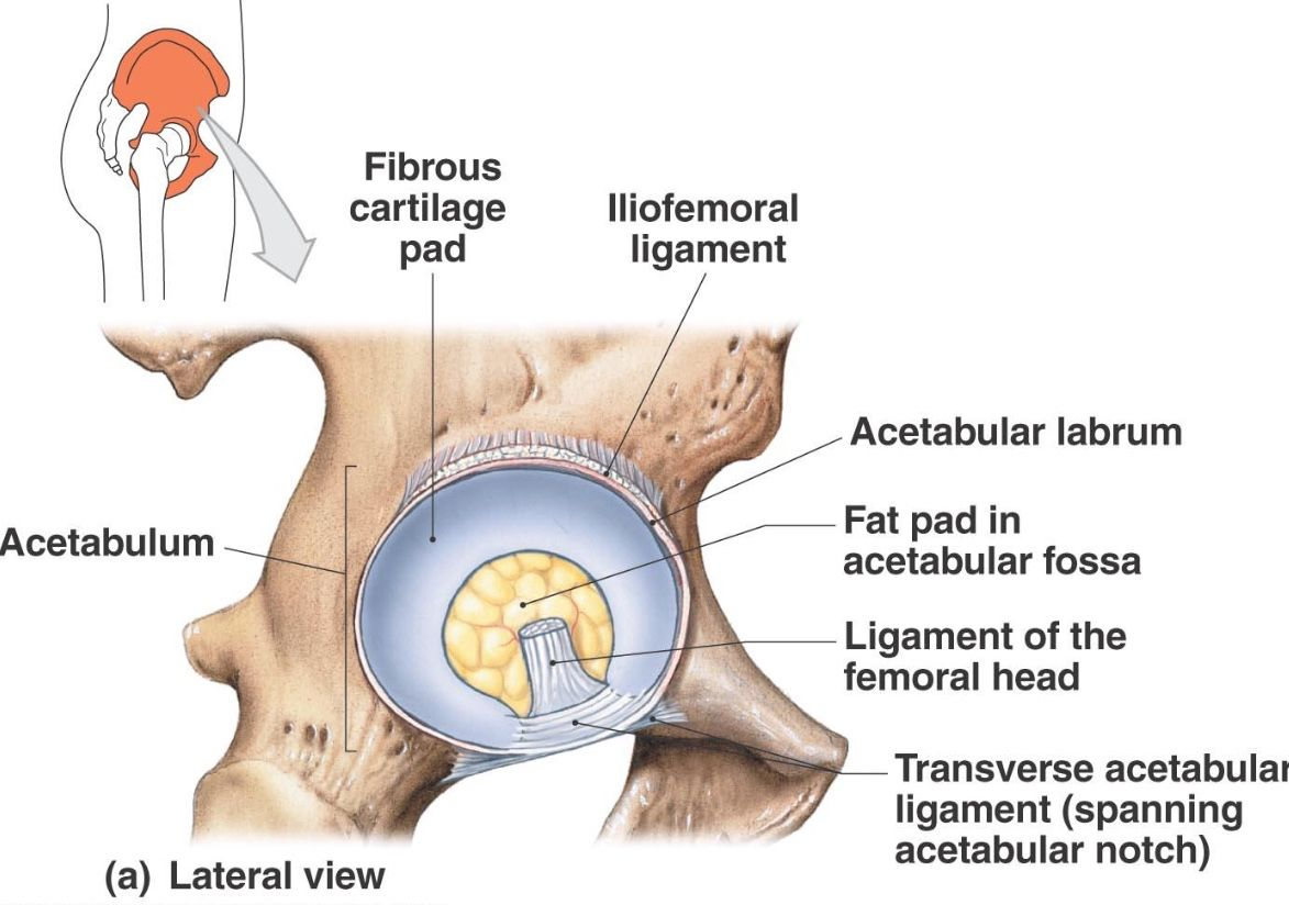 Lateral aspect of the hip excluding the muscles and femur | Anatomy ...