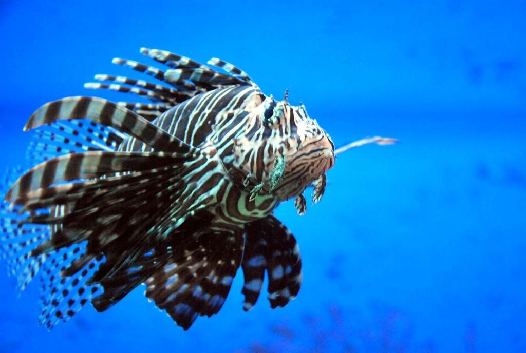 Lion Fish In 2020 Lion Fish Fish Yellow Fish