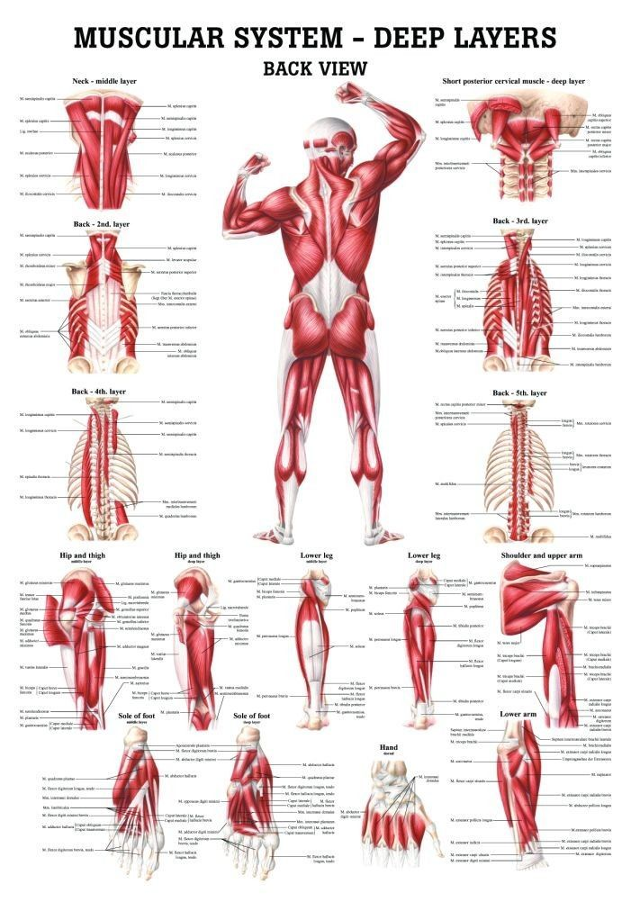 The Muscular System - Deep Layers, Back Laminated Anatomy Chart ...