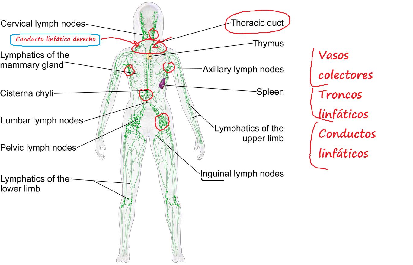 Lujo Diagrama Del Sistema Linfático Humano Elaboración - Anatomía de ...