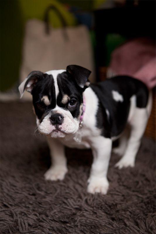 Gnocchi 2 Months Old English Bulldog Future Superstar Englische Bulldogge Bulldogge