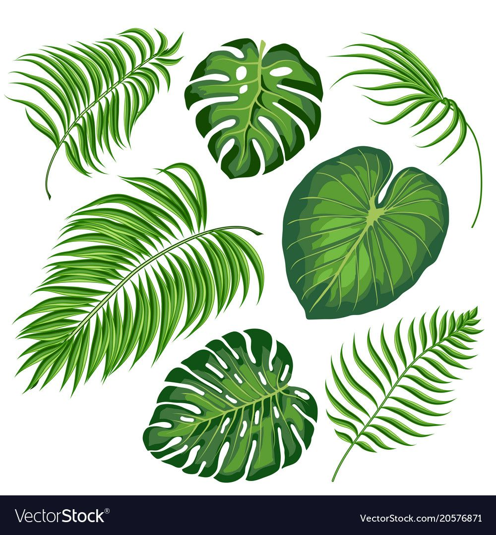 Set Of Tropical Leaves Vector Leaves Of Monstera Plant And Palm Isolated On White Background Tropical Leaves Illustration Leaves Illustration Tropical Leaves Tropical leaves illustrations & vectors. set of tropical leaves vector leaves