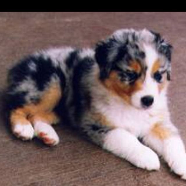 Australian Shepherd! One day, that will be our additional dog!
