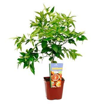 Oranger Variete Sanguine 1 4 Tige Pot 3l Ab Culture Biologique Bassin Mediterraneen Feuillage Persistant
