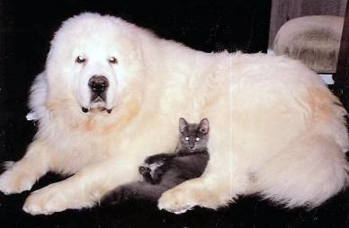Did You Know About The Great Pyrenees Pt 1 Great Pyrenees
