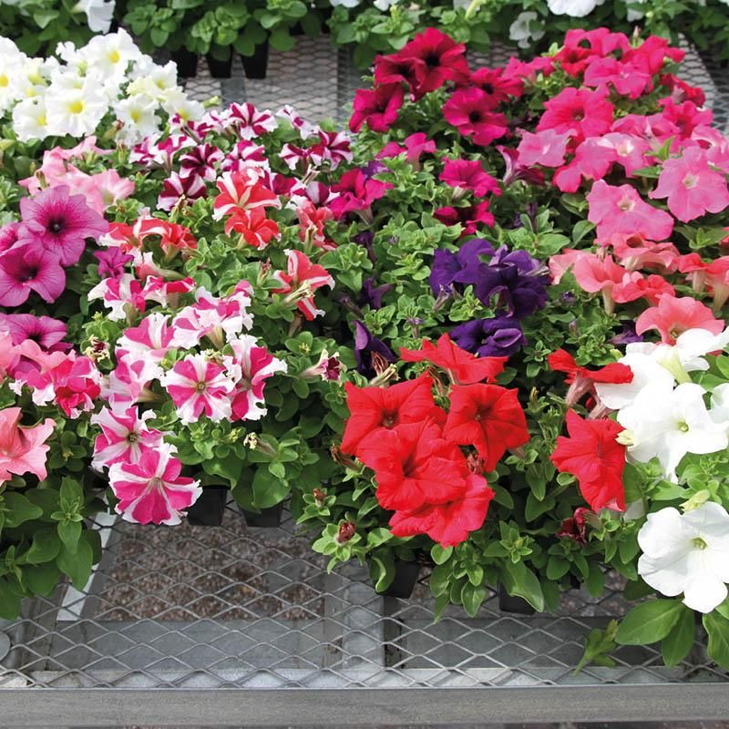 Petunia Success 360 Mix F1 Petunia Flower Petunias Showy Flowers