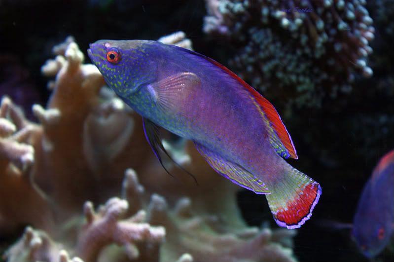 Pink Margin Fairy Wrasse Info Reef2reef Saltwater And Reef Aquarium Forum Wrasse Fish Pet Reef Tank