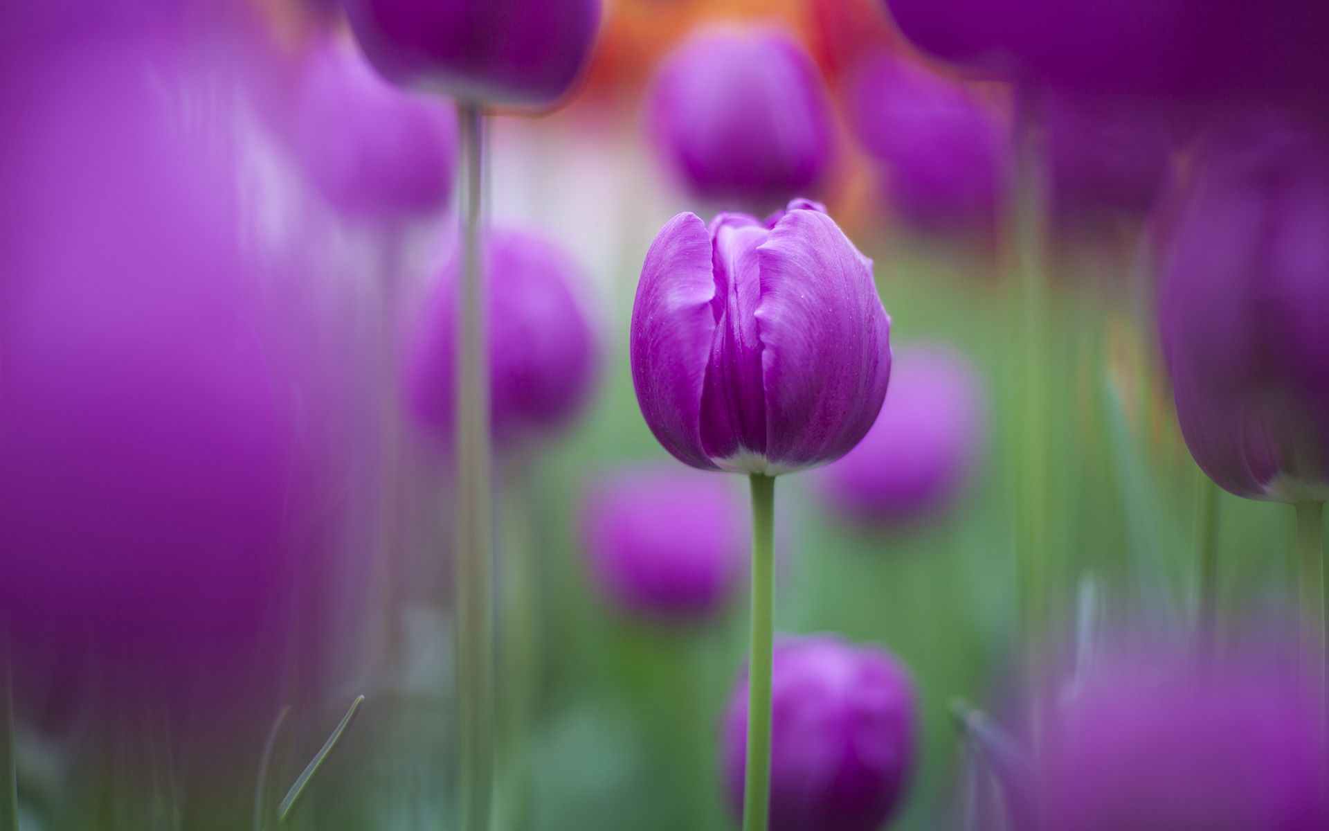 Purple Tulips Wallpapers Free Hd Wallpapers For Desktop