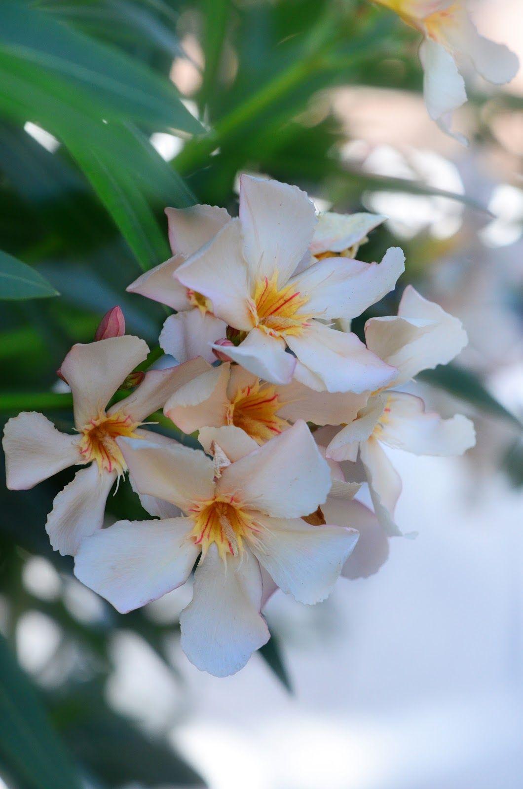 Pin By Vatsal Dixit On Beautiful Pinterest White Oleander
